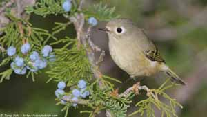 Ruby-crowned Kinglet - Screen Background