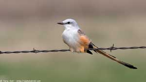 Scissor-tailed Flycatcher - Screen Background