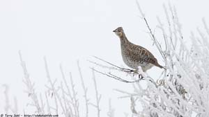 Sharp-tailed Grouse - Screen Background