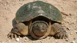 Snapping Turtle - Screen Background