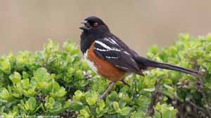 Spotted Towhee - Screen Background