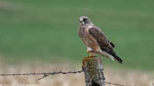 Swainson's Hawk - Screen Background
