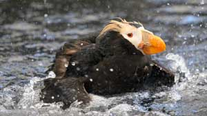 Tufted Puffin Bath - Screen Background
