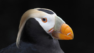 Tufted Puffin Portrait - Screen Background