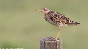Upland Sandpiper - ScreeN Background