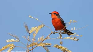 Vermillion Flycatcher - Screen Background