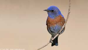 Western Bluebird - Screen Background