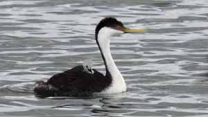 Western Grebe with Chick - Screen Background