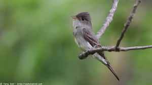 Western Wood-pewee - Screen Background