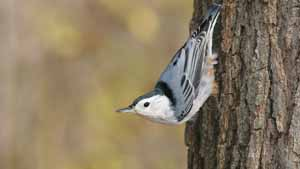 White-breasted Nuthatch - Screen Background