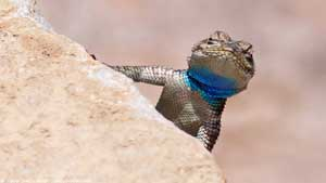 Yarrow's Spiny Lizard - Screen Background