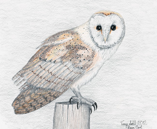 Barn Owl - Drawing by Terry Sohl