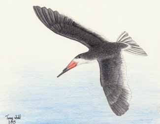 Black Skimmer - Rynchops niger - Drawing by Terry Sohl