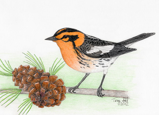 Blackburnian Warbler - Drawing by Terry Sohl