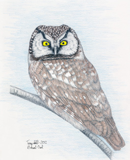 Boreal Owl - Drawing by Terry Sohl