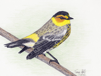 Cape May Warbler - Drawing by Terry Sohl