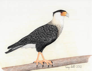 Crested Caracara - Drawing by Terry Sohl