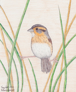 Nelson's Sparrow - Drawing by Terry Sohl