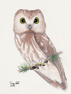 Northern Saw-whet Owl - Aegolius acadicus - Drawing
