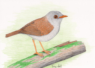 Orange-billed Nightingale-Thrush - By Terry Sohl