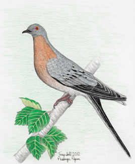 Passenger Pigeon - Drawing by Terry Sohl