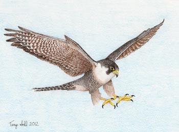Peregrine Falcon - Drawing by Terry Sohl