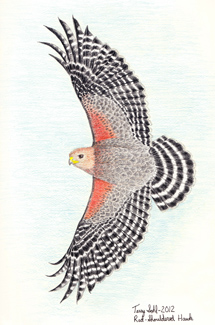 Red-shouldered Hawk - Drawing by Terry Sohl