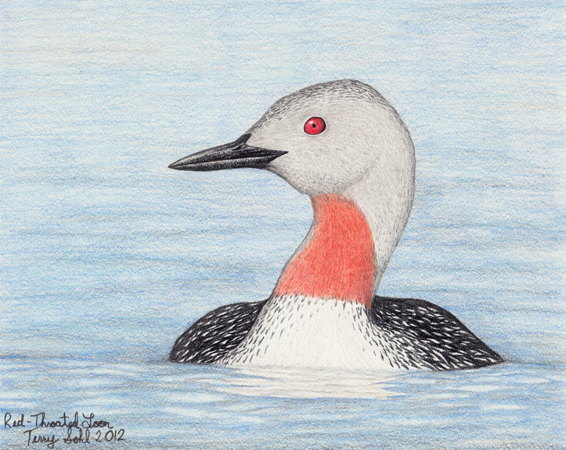 red throated loon drawing by terry sohl