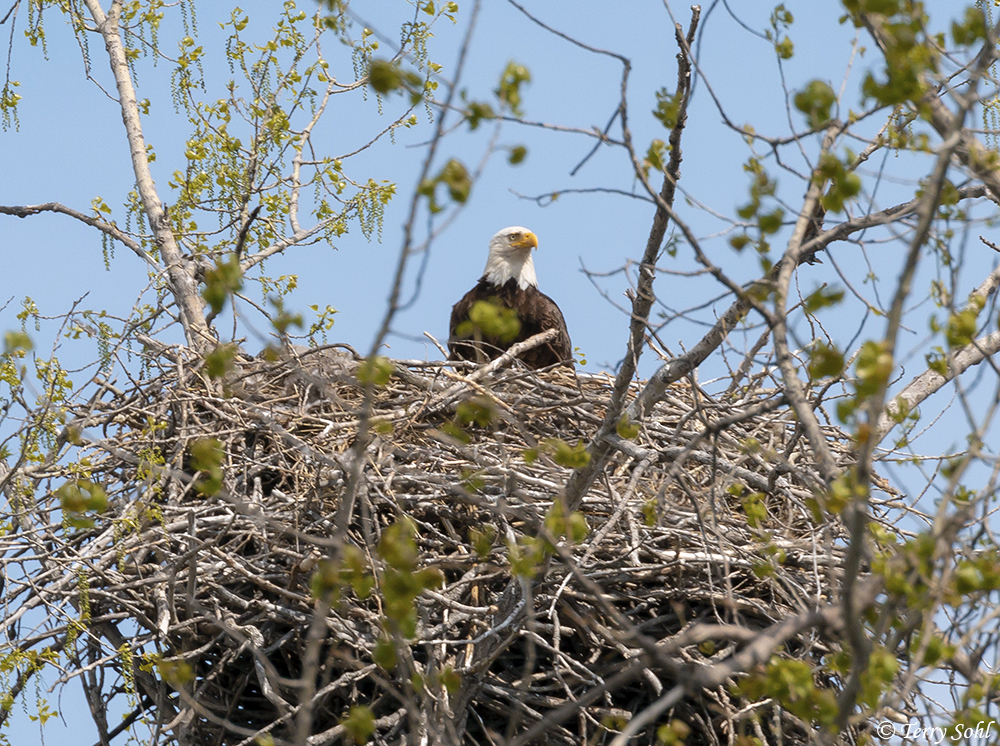 Bald Eagle (Haliaeetus leucocephalus) occupying a nest with young