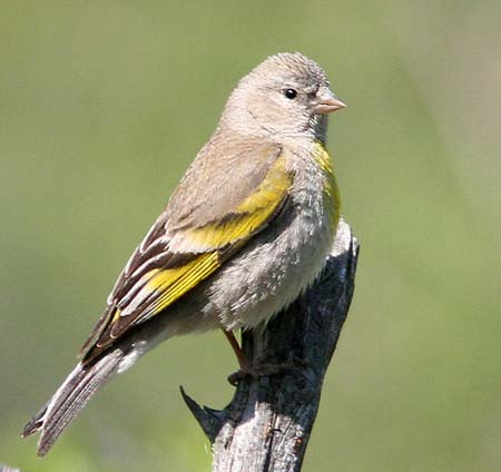 Identification Keys and Tips - Goldfinches (American, Lesser
