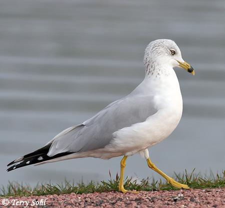 Larus Gulls Ring Species