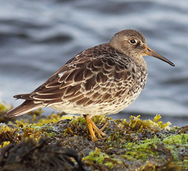 Bird Identification - Photo Quiz #5 - Shorebirds