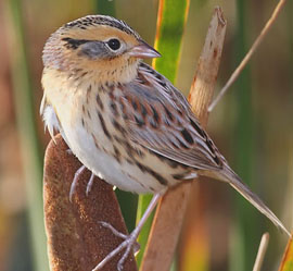 Bird Identification - Photo Quiz #6 - Sparrows