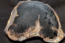 Petrified Wood - Blue Forest