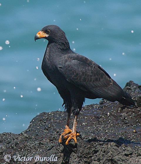 Image result for black hawk