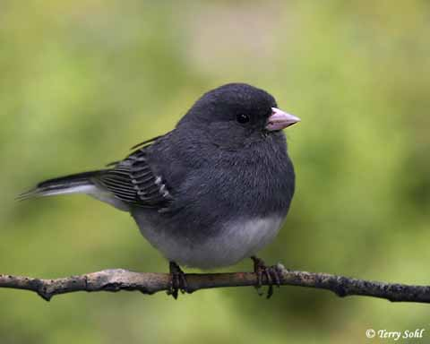 Image result for junco