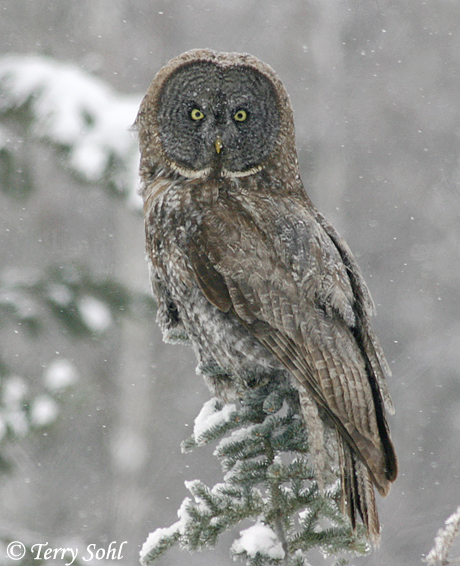 Great Gray (Grey) Owl - Strix nebulosa