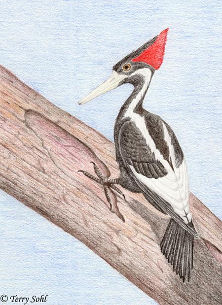 Ivory Billed Woodpecker