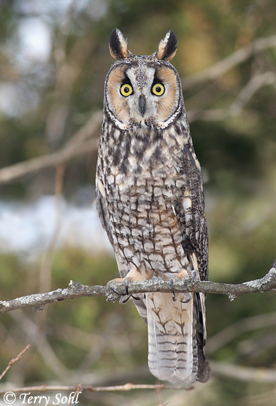 long eared owl south dakota birds