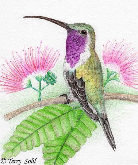 Lucifer Hummingbirds: Physical Description / Similar Species ...