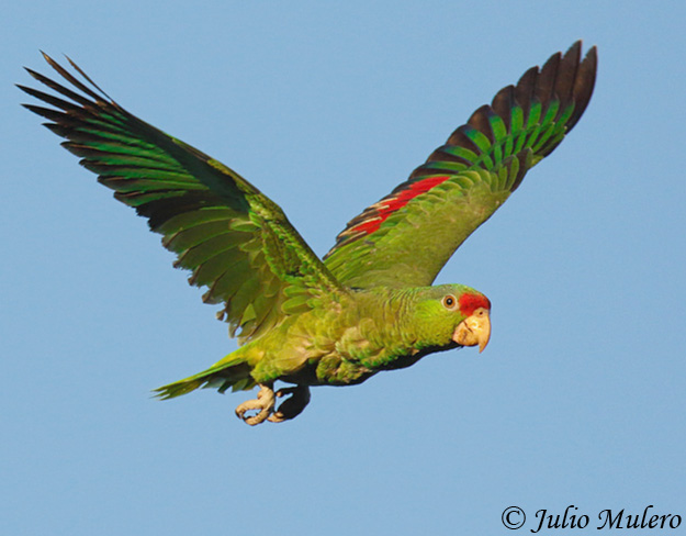 red crowned parrot amazona viridigenalis species information and