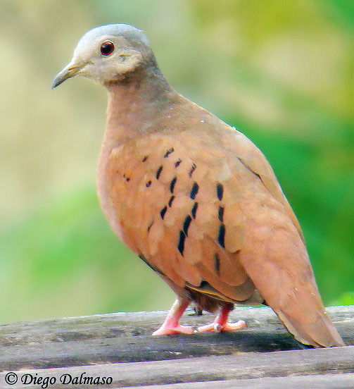 Ruddy Ground-Dove - Species Information and Photos