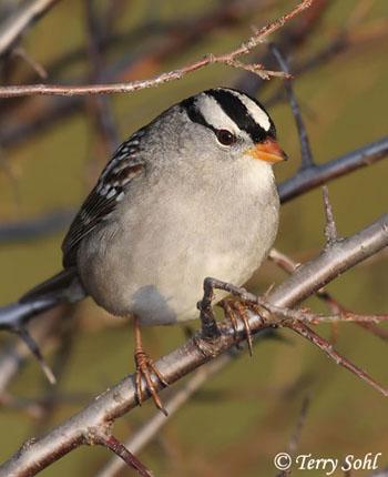 White-crowned Sparrow - South Dakota Birds and Birding