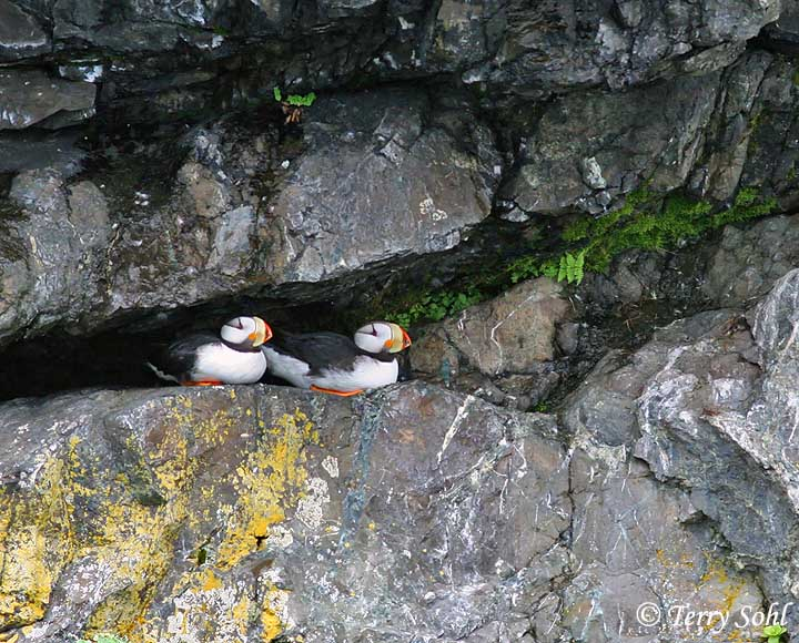Horned Puffin - Inform...