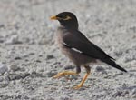Common Myna - Acridotheres tristis