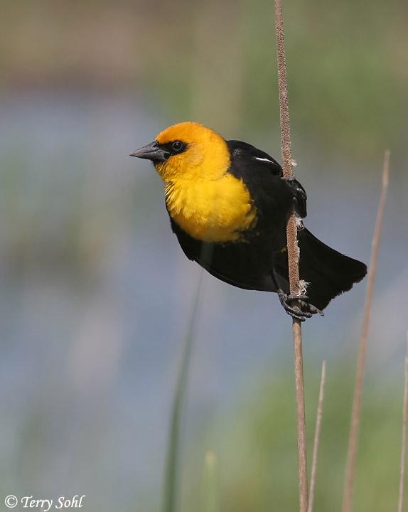 yellow headed blackbird south dakota birds and birding