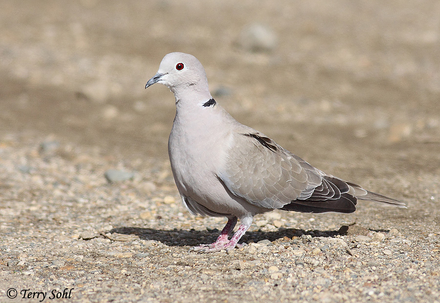 https://www.sdakotabirds.com/species_photos/doves_pigeons/eurasian_collared_dove_6.jpg