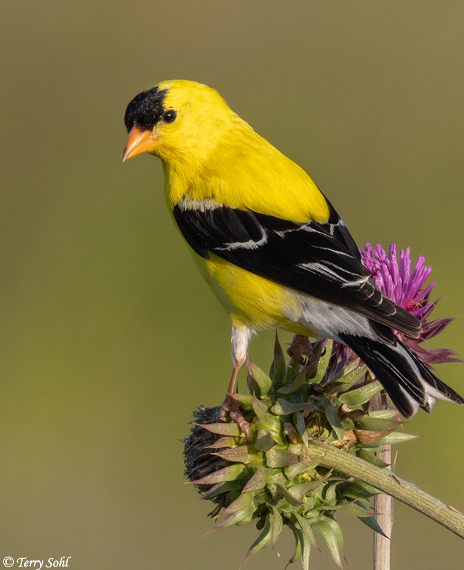 American Goldfinch Photos - Photographs - Pictures