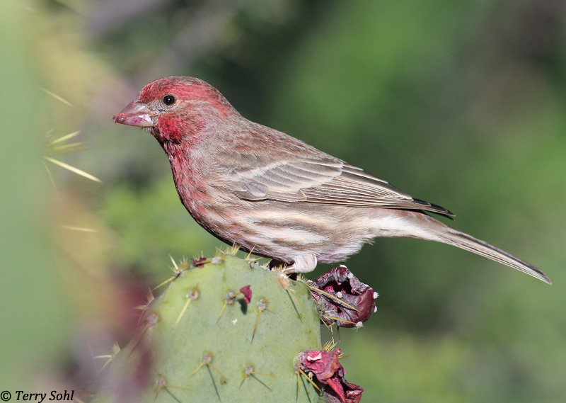 ... House Finch   Haemorhous Mexicanus