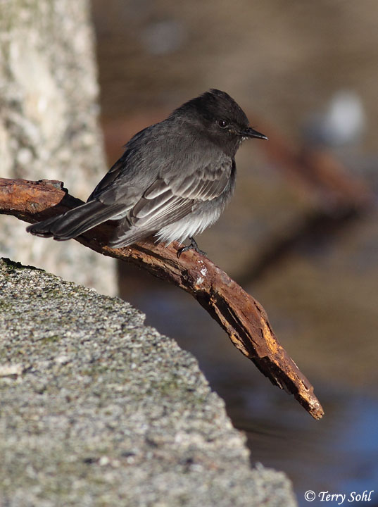 Black Phoebe Sayornis Nigricans Information And Photos